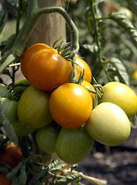 Tomatensorten S bis Z